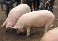 Vrei să pornești o afacere cu porci? Te ajută statul! Vezi cum