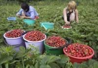 800 de locuri de muncă la cules de căpșuni în Spania. Angajările se fac la Craiova
