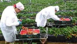 150 locuri de muncă în domeniul agricol în Spania